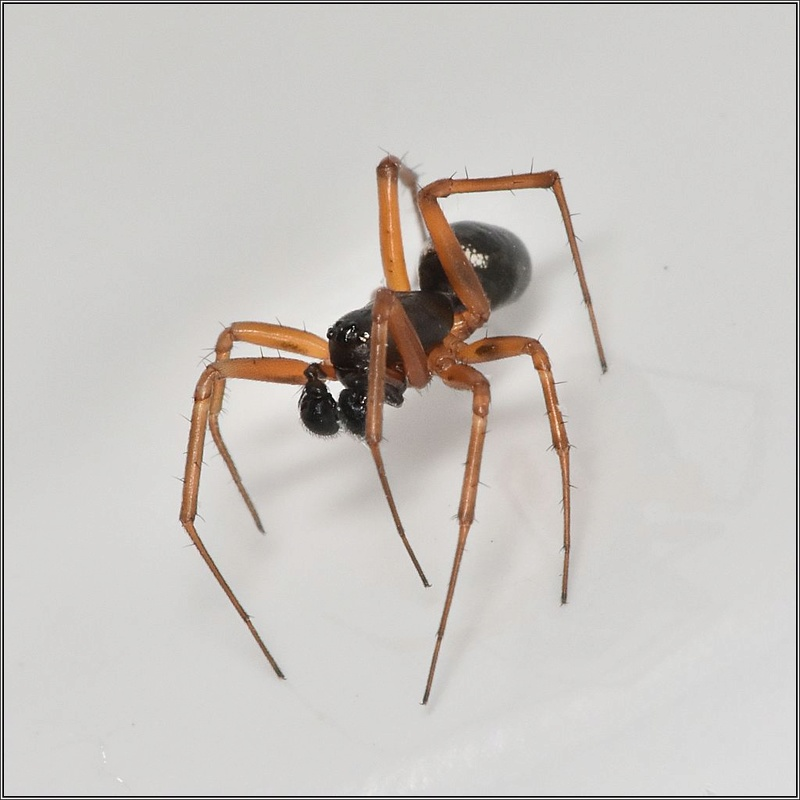 Microlinyphia pusilla (à confirmer) Microl13
