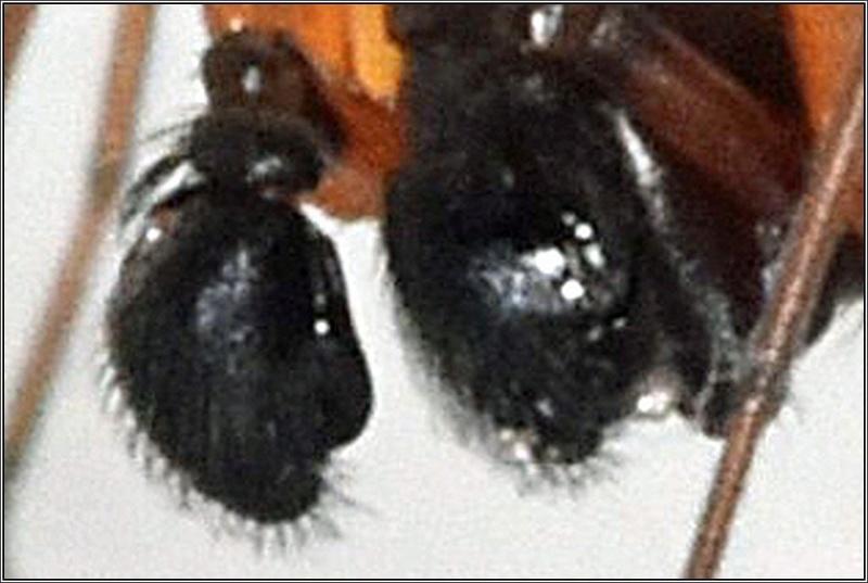 Microlinyphia pusilla (à confirmer) Pydipa10