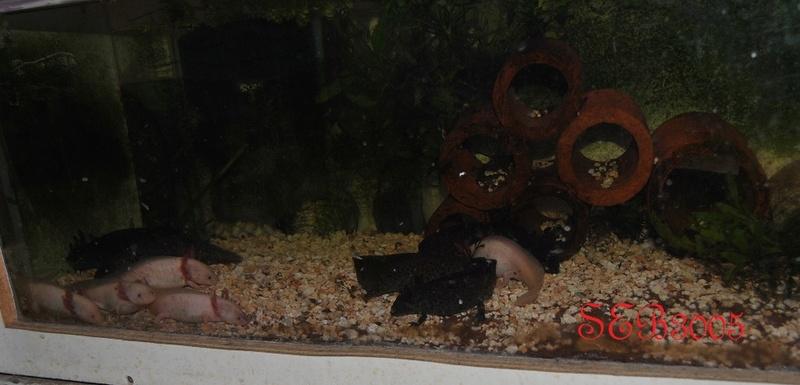 Vends axolotls Dsc_0033