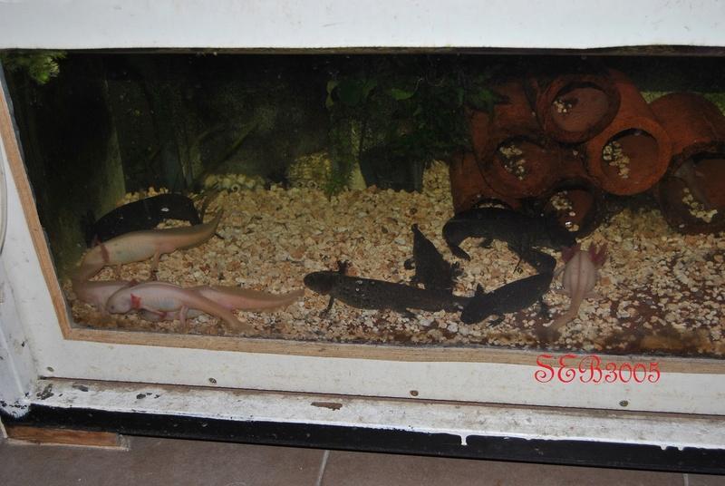 Vends axolotls Dsc_0035