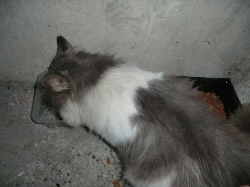 2 chats poils longs  plus 1en urgence recherchent FA Grisou12