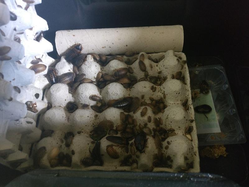 élevage de blattes Img_2025