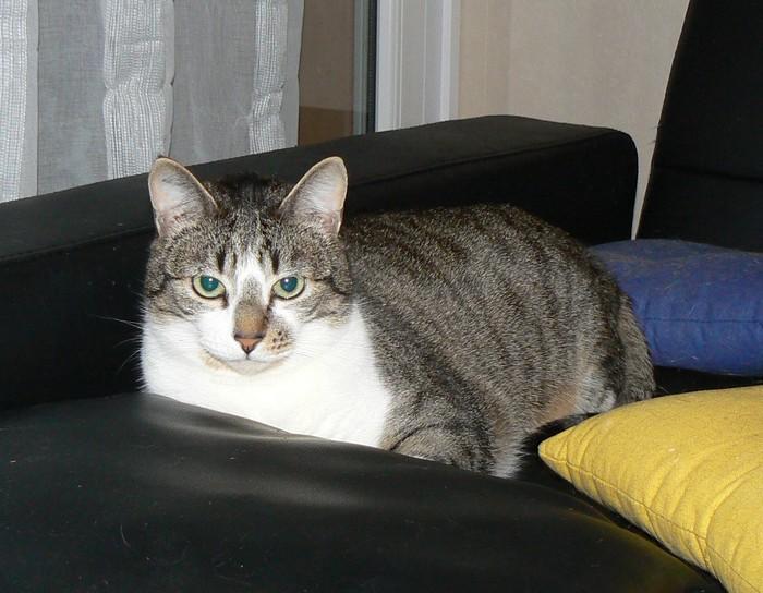 Tristam, jeune et gentil chat à Limoges P1080010