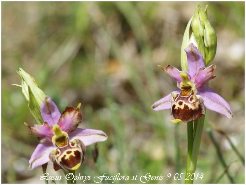 Ophrys pseudoscolopax 2014_030