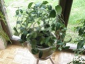 Après les orchidées, les hirondelles, mes plantes d'intérieur.... - Page 4 P8010421