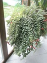 Après les orchidées, les hirondelles, mes plantes d'intérieur.... - Page 4 P8010422
