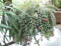 Après les orchidées, les hirondelles, mes plantes d'intérieur.... - Page 4 P8010424