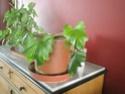 Après les orchidées, les hirondelles, mes plantes d'intérieur.... - Page 4 P8070519