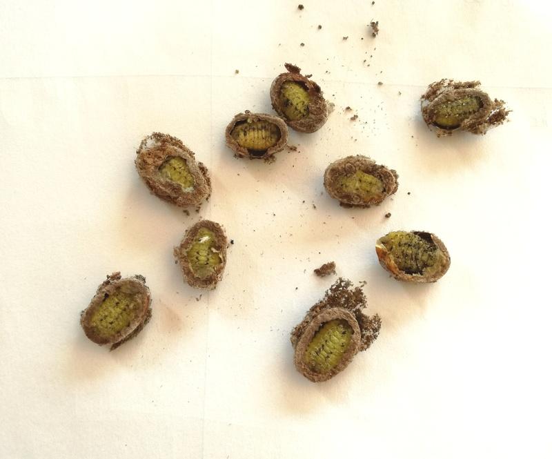 Parasa lepida (Limacodidae) - Notes d'elevage Img_2010