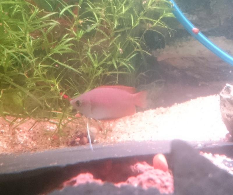 femelles colisa chuna de couleur éclatante ? Dsc_0111