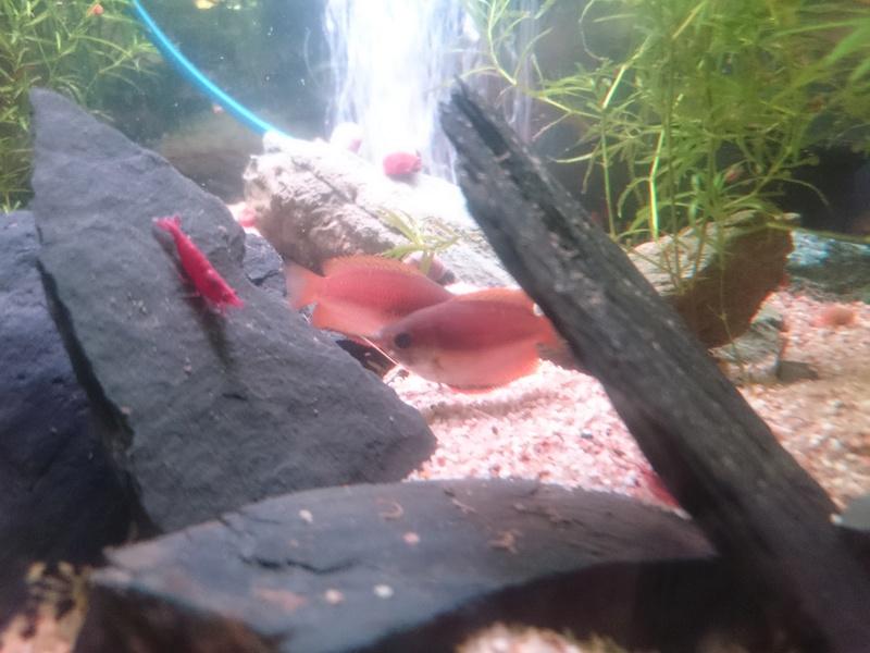 femelles colisa chuna de couleur éclatante ? Dsc_0112