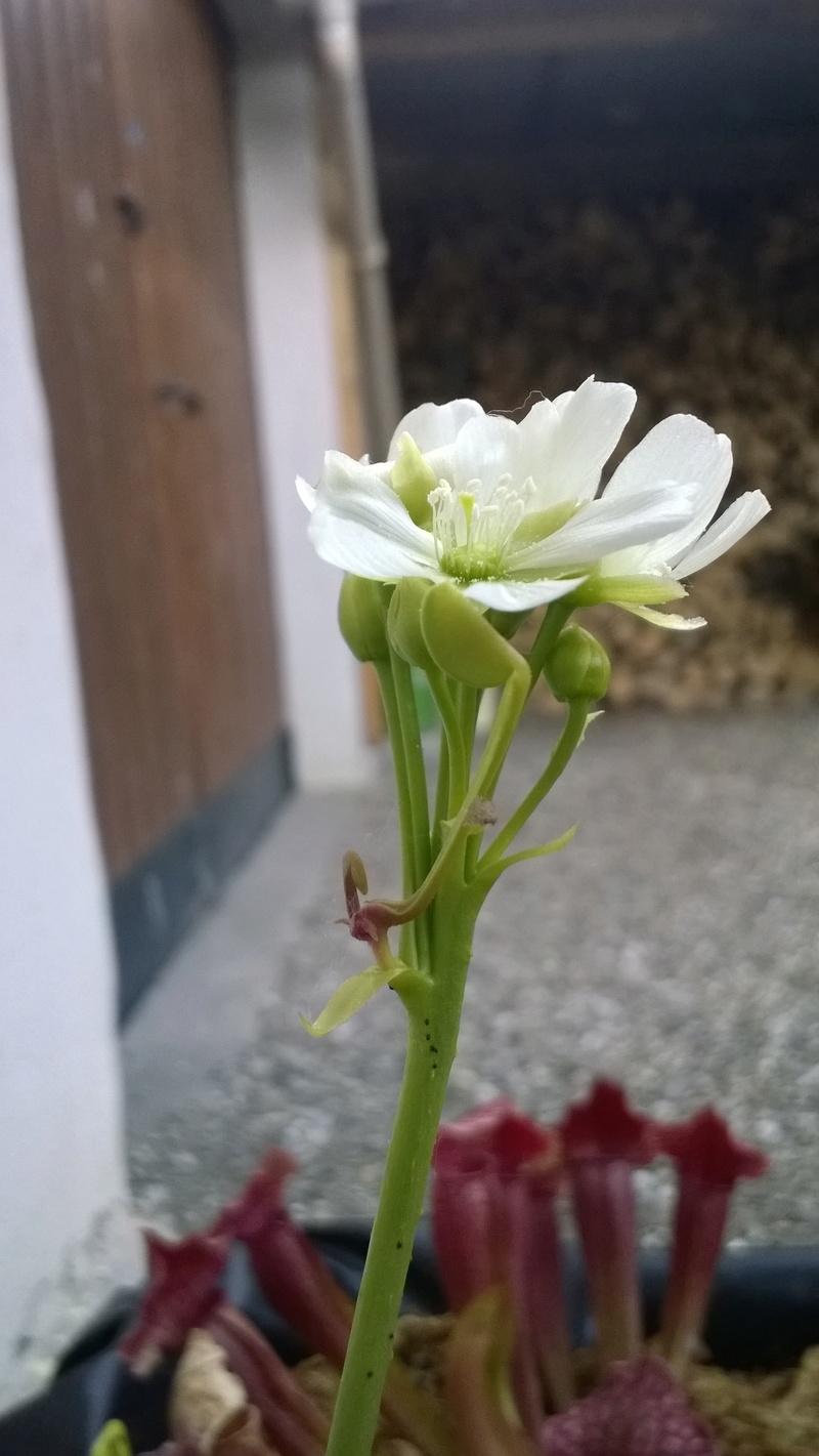Bouture Dionée + Rejet hampe florale Wp_20135