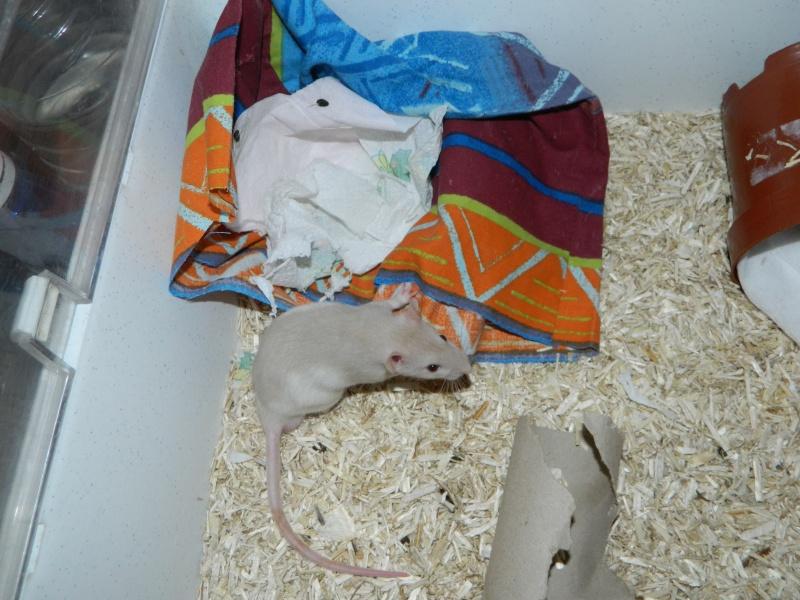 mes ratons  Tibo_113