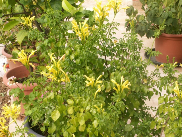 Tecomaria capensis Pict0611
