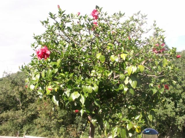 """Mon arbre """"hibiscus rosa sinensis"""" Pict0616"""