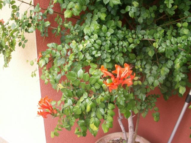 Tecomaria capensis Pict0622