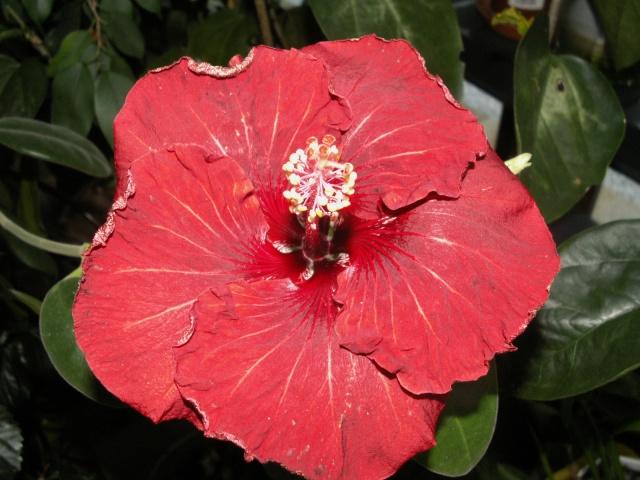 Mon hibiscus se croit au printemps Pict0739