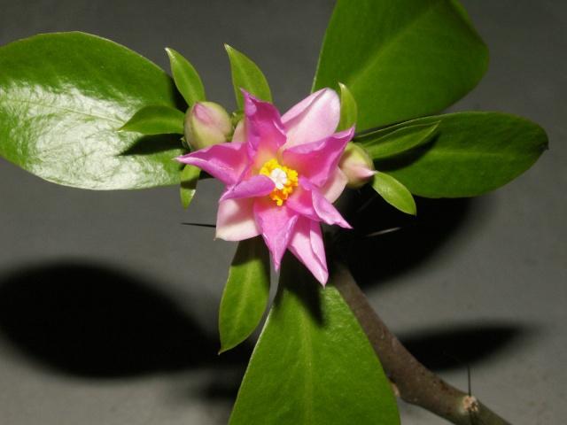 Pereskia grandiflora Pict0823
