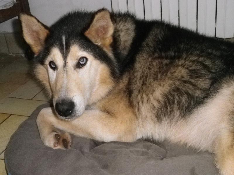 ALASKA (ex)LOUIS husky a l'attache depuis des années (m) 8 ans ref/79DECEDE     - Page 4 0331010