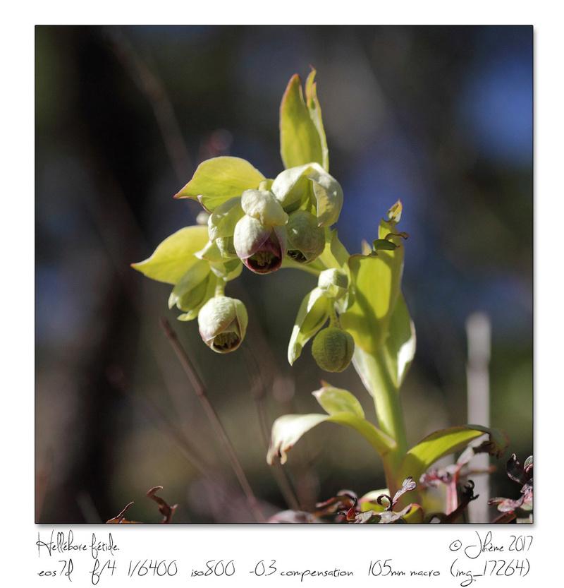 Flore Alpine. Fleur_11