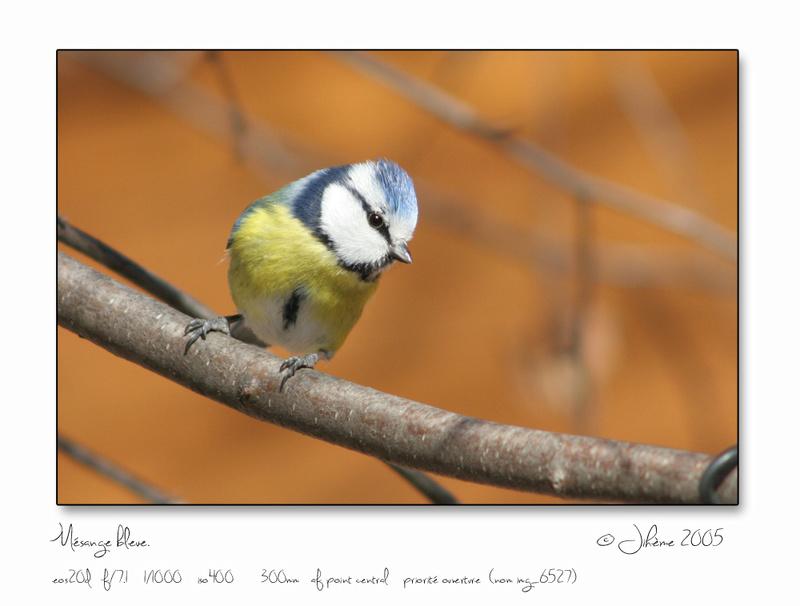 Quelques piafs de mon jardin et de mes montagnes: Oiseau10