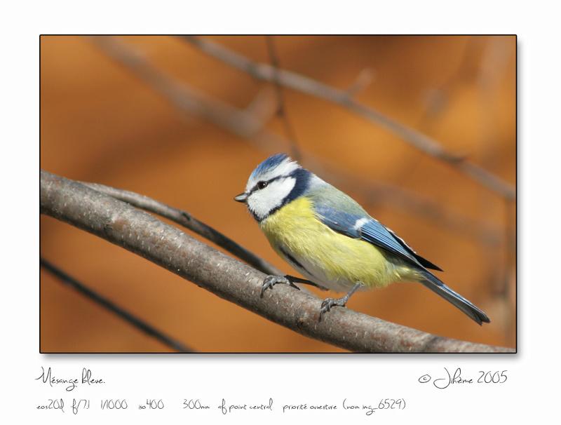 Quelques piafs de mon jardin et de mes montagnes: Oiseau11