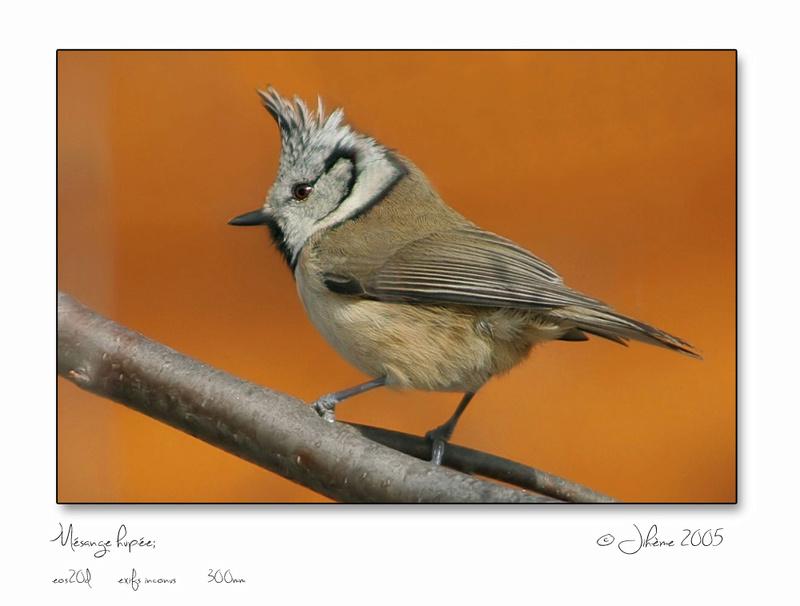 Quelques piafs de mon jardin et de mes montagnes: Oiseau12