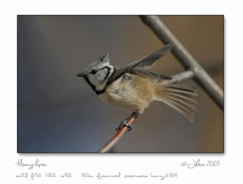Quelques piafs de mon jardin et de mes montagnes: Oiseau13