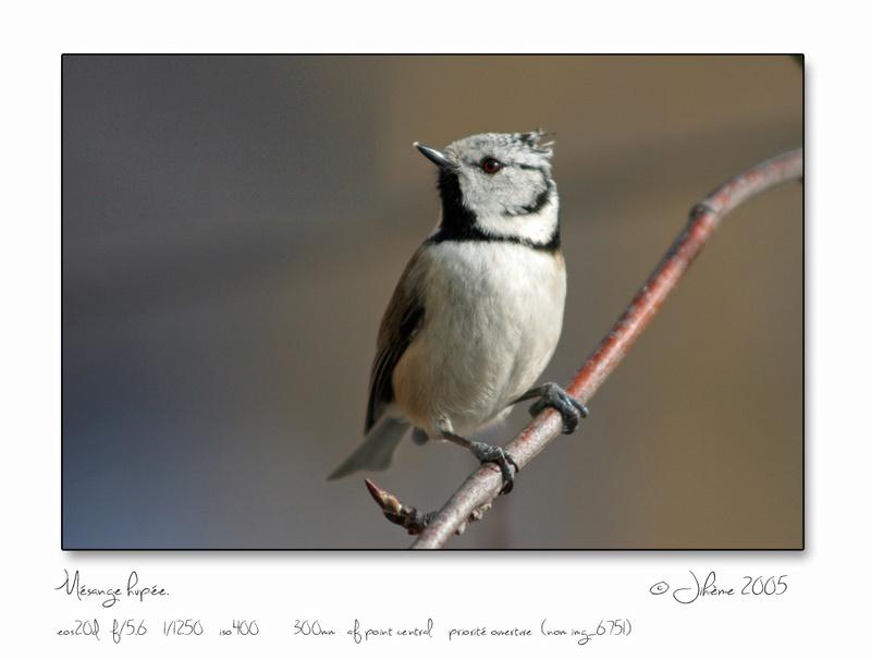 Quelques piafs de mon jardin et de mes montagnes: Oiseau15