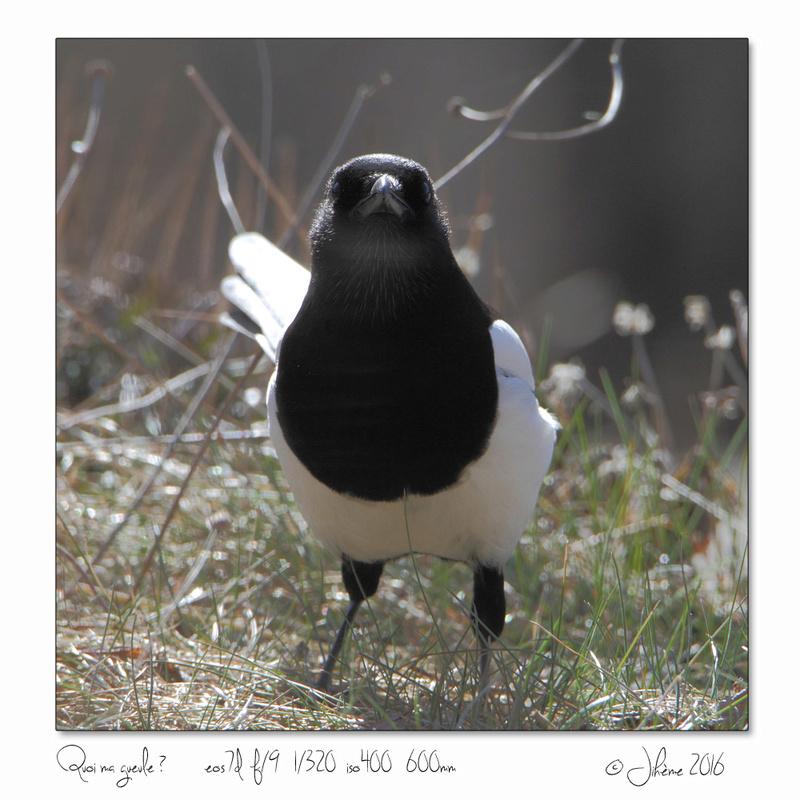 Quelques piafs de mon jardin et de mes montagnes: Oiseau17