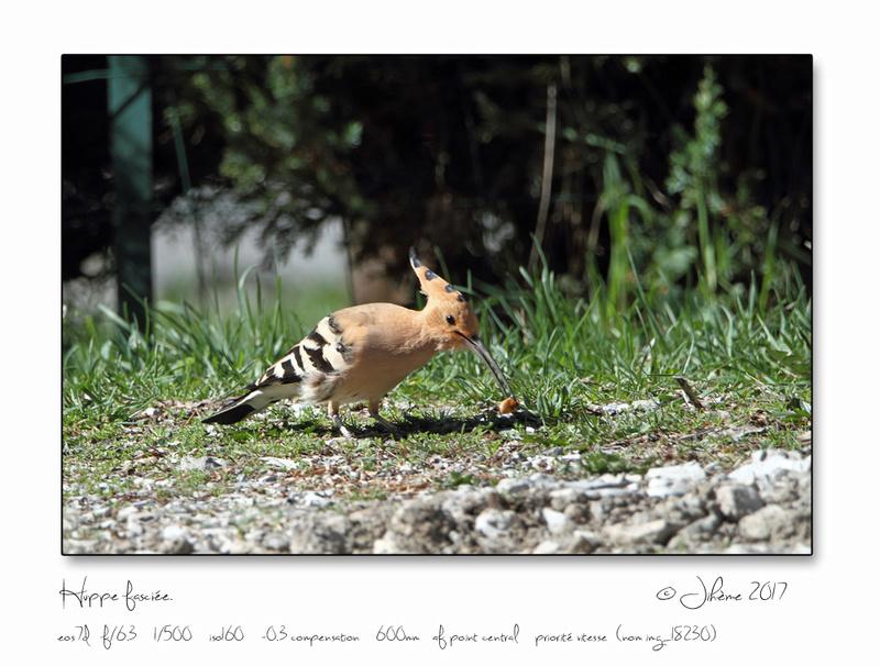 Quelques piafs de mon jardin et de mes montagnes: Oiseau18