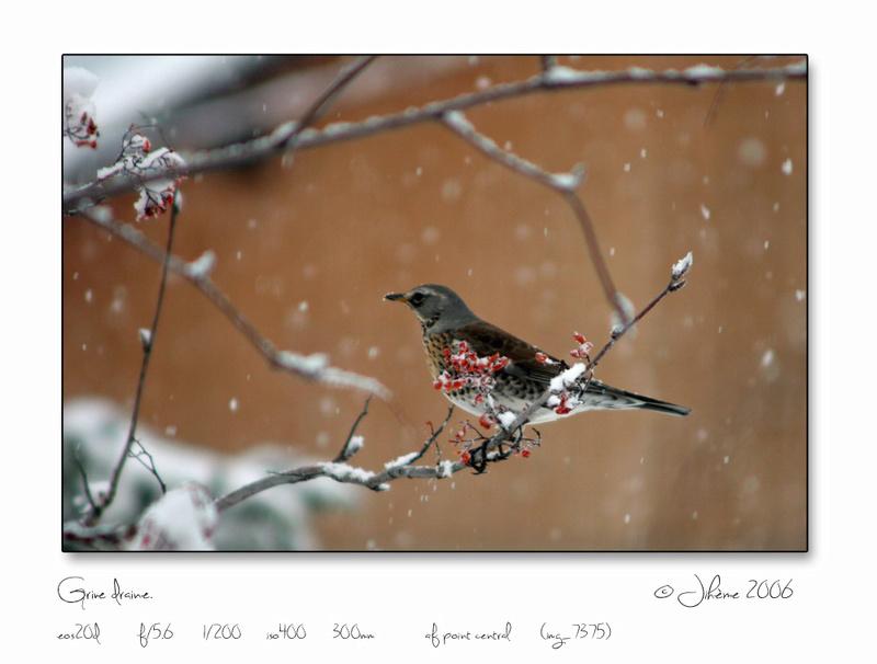 Quelques piafs de mon jardin et de mes montagnes: - Page 2 Oiseau20