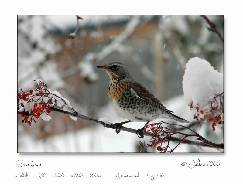 Quelques piafs de mon jardin et de mes montagnes: - Page 2 Oiseau21