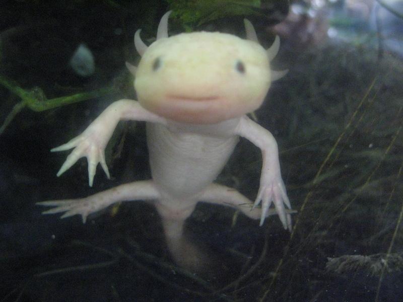 Un de mes axolotl  Img_3510