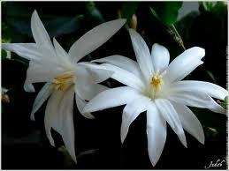 Schlumbergera blanc et rouge Cactuc10