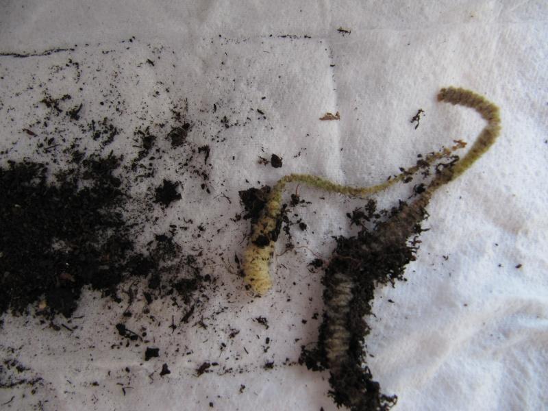 chenilles de kolheria Chenil10