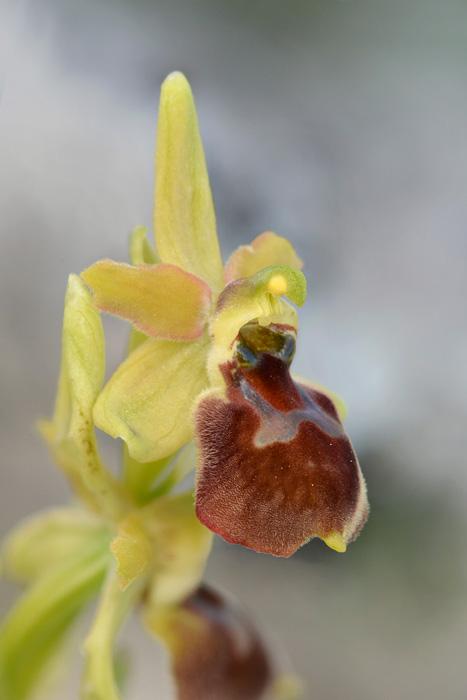 Orchidées et ambiances florales des Pouilles - Page 2 Archix10