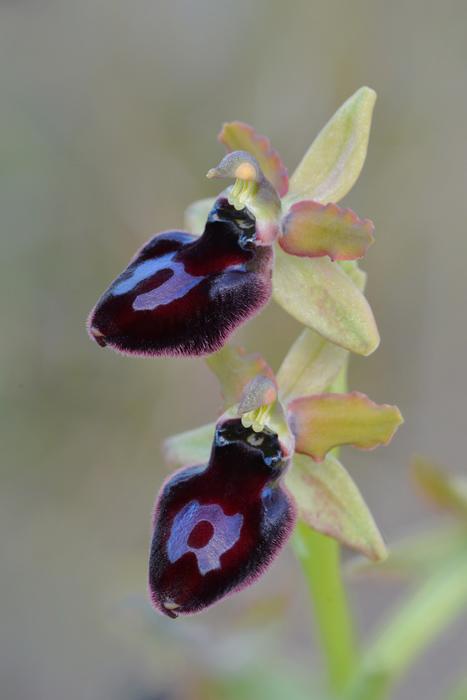Orchidées et ambiances florales des Pouilles - Page 2 Bertol10