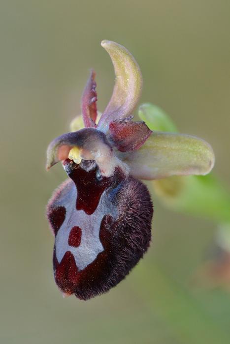 Orchidées et ambiances florales des Pouilles - Page 2 Bertol14