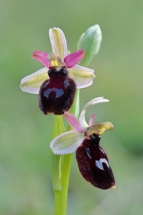 Orchidées et ambiances florales des Pouilles - Page 2 Bertox12
