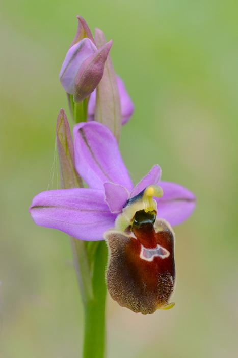 Orchidées et ambiances florales des Pouilles - Page 2 Biscux10