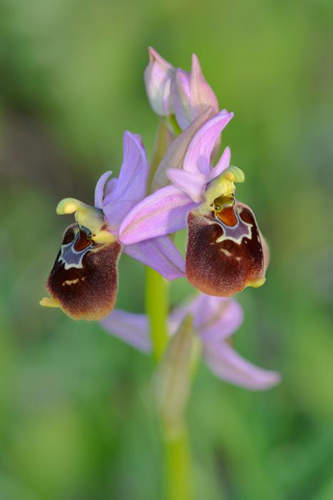 Orchidées et ambiances florales des Pouilles - Page 2 Biscux11