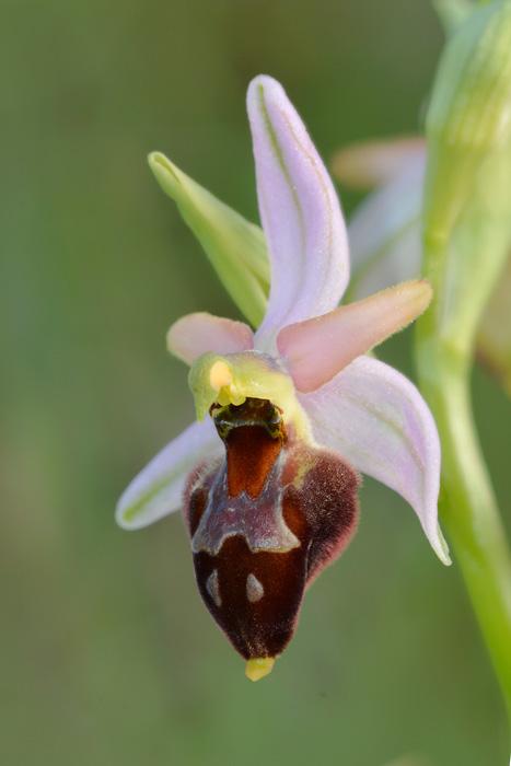 Orchidées et ambiances florales des Pouilles - Page 2 Biscux12