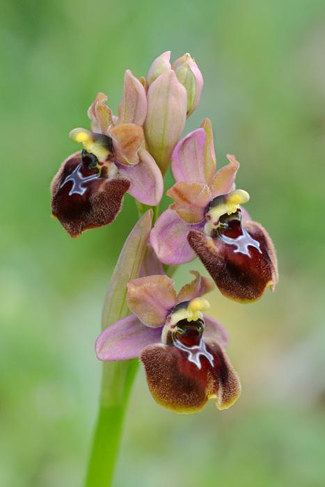 Orchidées et ambiances florales des Pouilles - Page 2 Gargax11