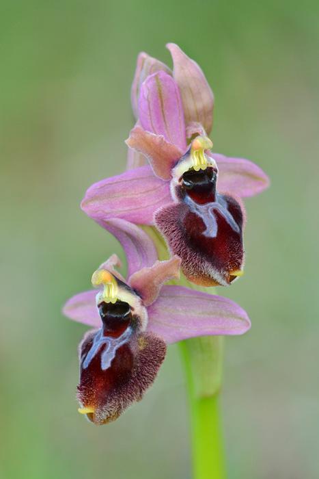 Orchidées et ambiances florales des Pouilles - Page 2 Gargax12