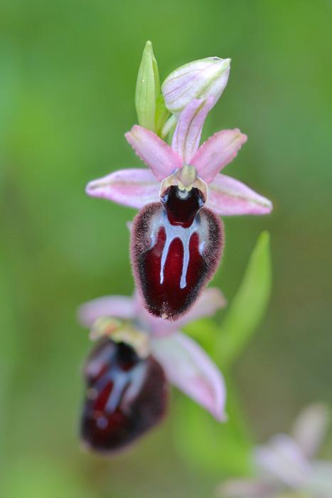 Orchidées et ambiances florales des Pouilles - Page 2 Incubx11