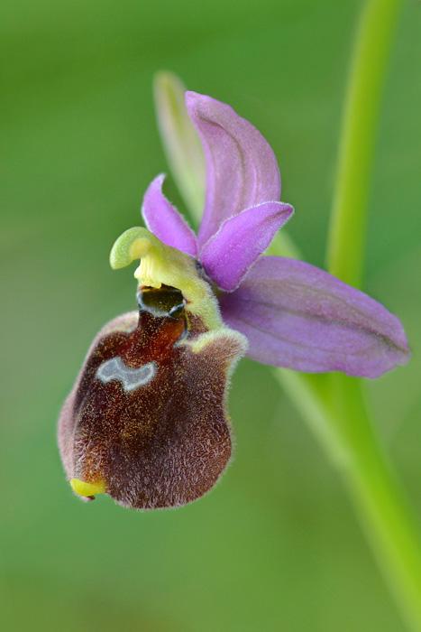 Orchidées et ambiances florales des Pouilles - Page 2 Jlr_1111