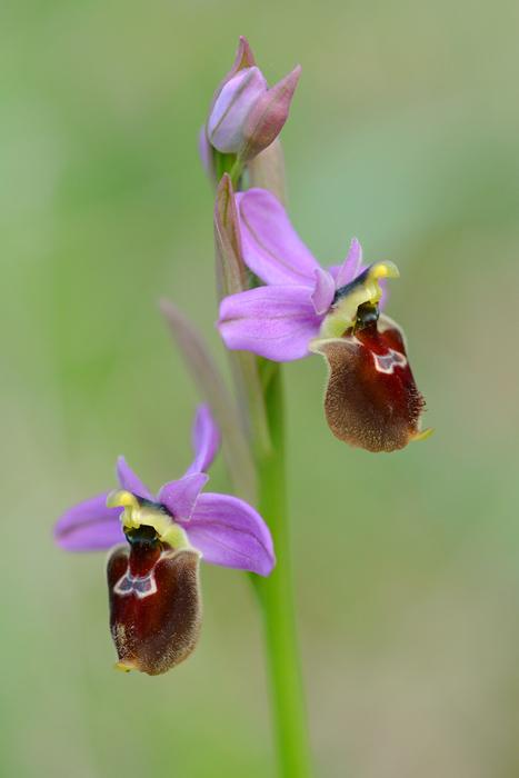 Orchidées et ambiances florales des Pouilles - Page 2 Jlr_1112