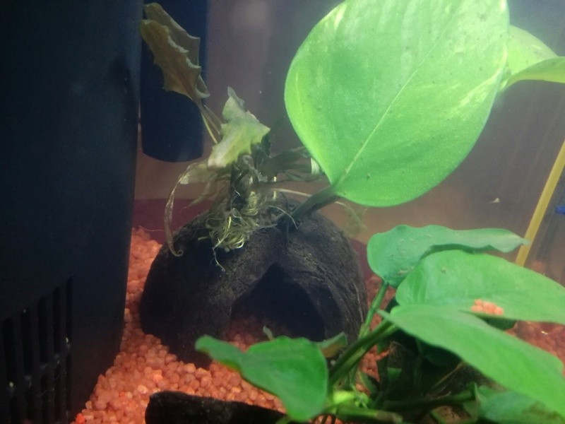 Nouveau betta, anubia trop grande ? (photo) Img_2013