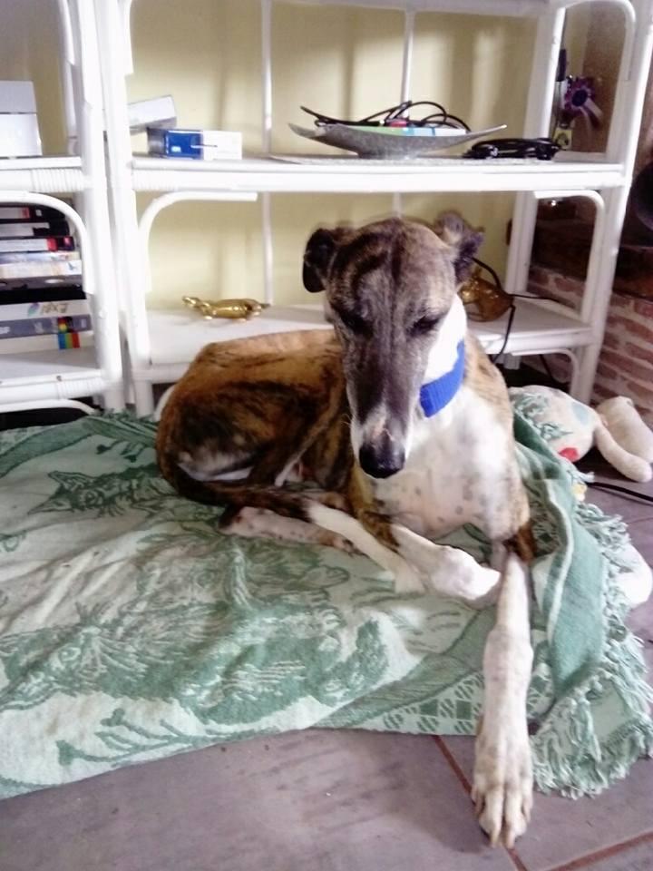 Baco jeune galgo né en 2014 à l'adoption refuge de scooby Adopté  Baco_a10